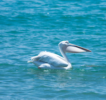 Young White Pelican Swimming  ...