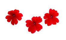 Red Verbena Isolated