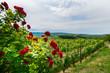 Rosen im Kaiserstuhl nahe Sasbach