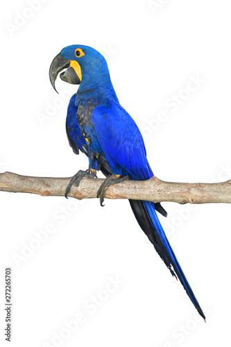 Fond de hotte en verre imprimé Perroquets Hyacinth Macaw bird