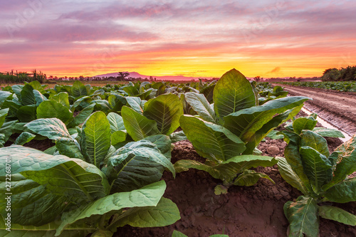 Papiers peints Marron chocolat View of young green tobacco plant in field
