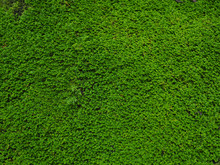 Closeup Of Rainforest Moss On ...