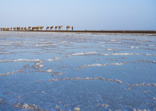 Camel Caravans Carrying Salt B...