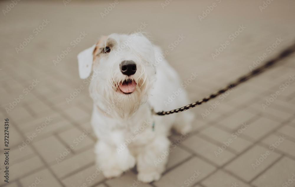 Fototapety, obrazy: White Sealyham Terrier in the park walking on a leash