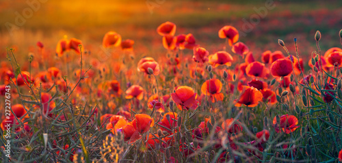 Panorama of a field of red poppies. Natural, warm colors obtained during the sunset