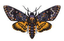 Hand Drawn Acherontia Styx Butterfly Color