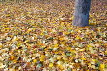 Floor Covered With Fallen Leaves Around Trunk