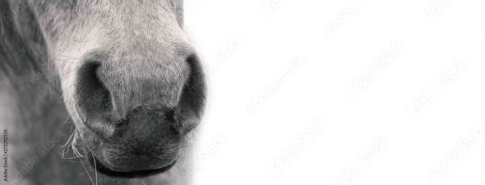 Fototapety, obrazy:  White horse's muzzle, black and white portrait.