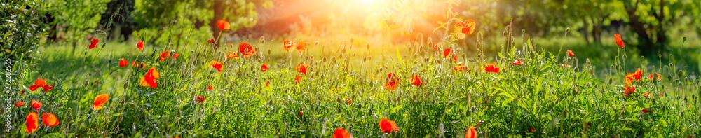 Fototapety, obrazy: Red poppies.