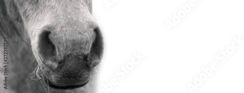 La pose en embrasure Chevaux White horse's muzzle, black and white portrait.