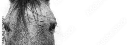 Fotografía  White horse's eye, black and white portrait.