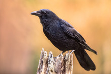 Carrion Crow Bright Background