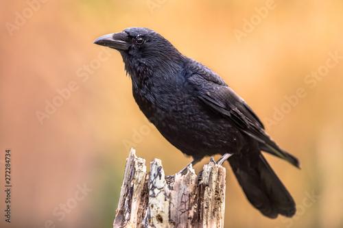 Slika na platnu Carrion crow bright background