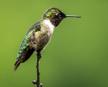 Ruby Throated Hummingbird On A...