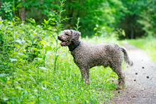 Brown Dog Portrait In Forest L...
