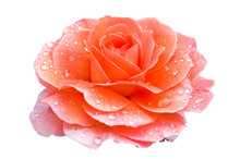 Rose Doctor Jo 'Fryaltlanta' An Early Spring Summer Orange Flower Plant Cut Out And Isolated On A White Background