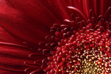 Natural Background. Details Of Red Flower Gerber Macro Photography. Macro View Of Abstract Nature Texture And Background Organic Pattern. Copy Space. Template For Design