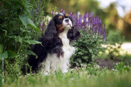 Beautiful cavalier king charles spaniel in summer park Fototapeta