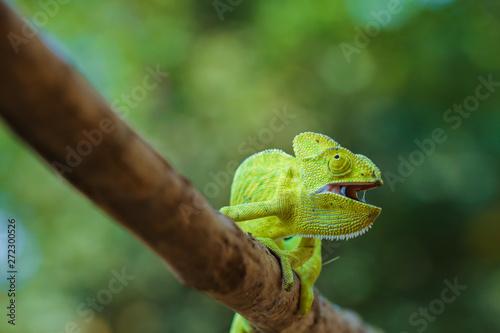 Aluminium Prints Chameleon Green chameleon india
