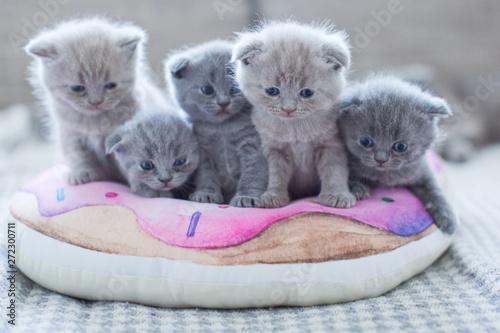 Obraz cute british little kitties - fototapety do salonu