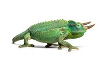 Side View Of A Jackson's Horned Chameleon Walking