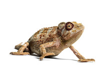 Panther Chameleon, Furcifer Pardalis In Front Of White