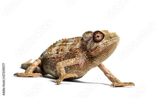 Panther chameleon, Furcifer pardalis in front of white Fototapet