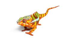 Panther Chameleon, Furcifer Pa...