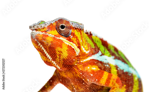 Papiers peints Cameleon Panther chameleon, Furcifer pardalis, in front of white