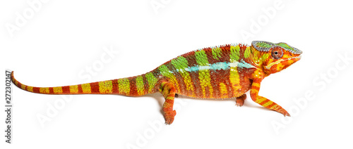 Poster Kameleon Panther chameleon, Furcifer pardalis, in front of white