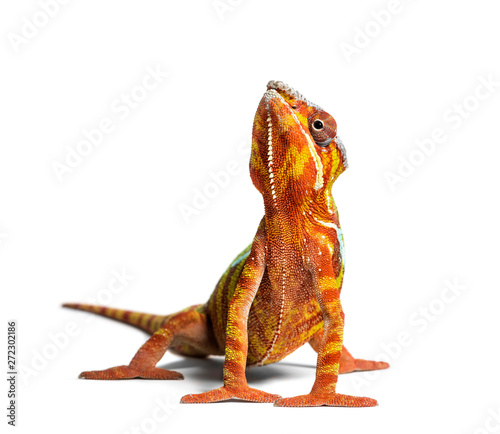 Photo sur Aluminium Cameleon Panther chameleon, Furcifer pardalis, in front of white