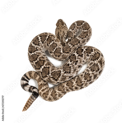 western diamondback rattlesnake or Texas diamond-back in