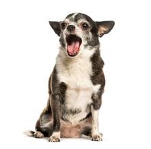 Chihuahua Yawning Against White Background