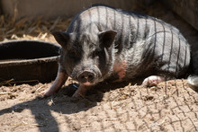 Friendly Pot Bellied Pig Is Curious And Watching You