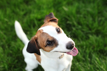 Happy Active Young Jack Russell Terrier. White-brown Color Dog Face And Eyes Close-up In A Park Outdoors, Making A Serious Face Under The Morning Sunlight In Good Weather. Jack Russel Terrier Portrait