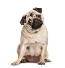 Pug Sitting Against White Background