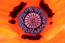 Closeup Of The Center Of A Red...