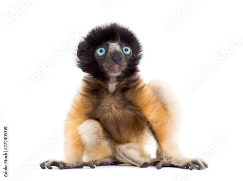 4 months old baby Crowned Sifaka sitting against white
