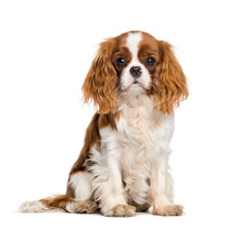 Puppy Cavalier King Charles Sp...