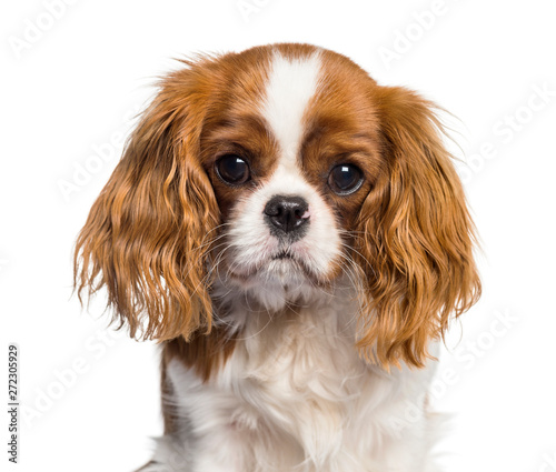 Fotomural Puppy Cavalier King Charles Spaniel, dog