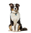 Leinwandbild Motiv Australian Shepherd sitting against white background