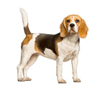 Beagles Dog Standing Against W...