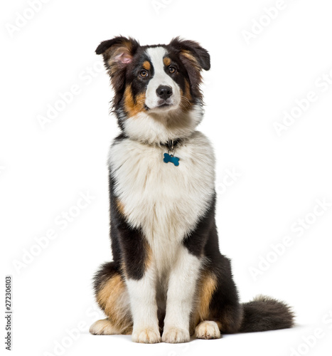 Spoed Foto op Canvas Hond Australian Shepherd sitting against white background