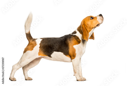 Carta da parati Beagles dog standing against white background