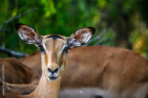 Garden Poster Antelope Safari im Majete Nationalpark