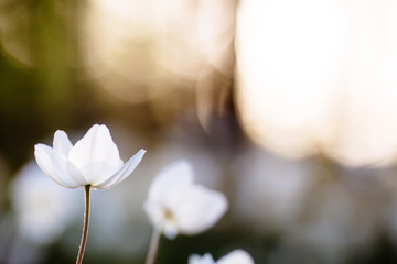 Anemone - white spring flowers on sunset background