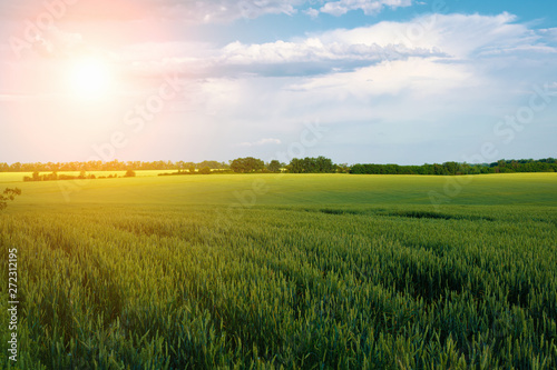 Foto auf AluDibond Beige Field of ripening wheat on the background of a cloudy sky and sunlight