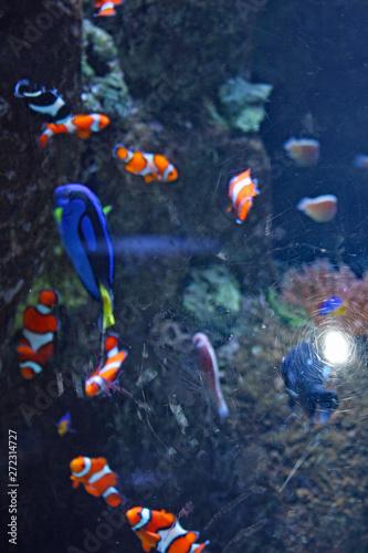 Fotografie, Tablou  School of Clown Fish