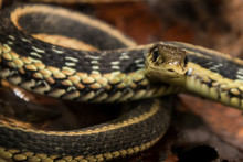 Garter Snake Close Up Macro