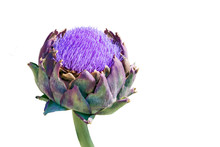Blooming Vegetable Plant Artichoke Isolated On White Background. Food And Medicinal Plant